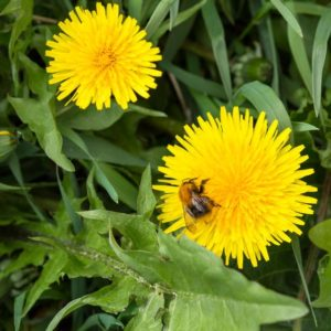 Read Before You Weed: Healthy & Delicious Dandelions