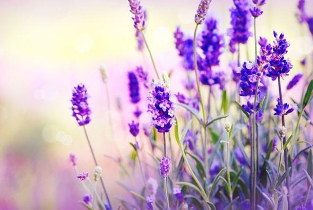 Mediterranean Diet: Lavender